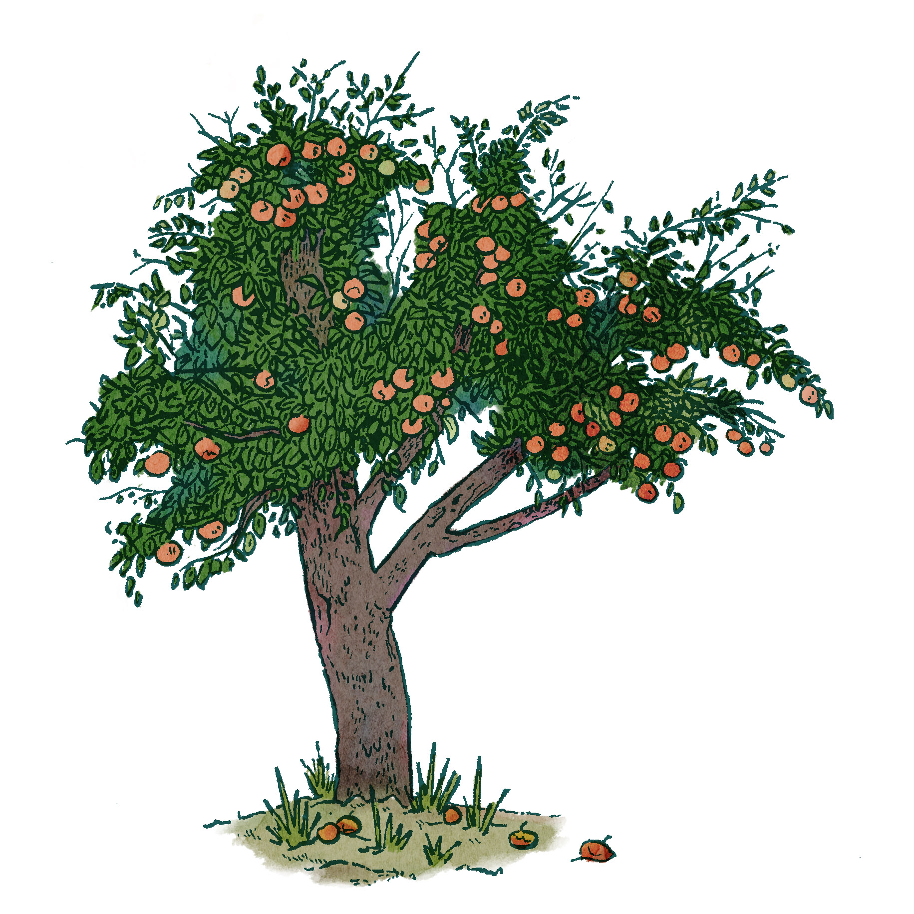drawing study of an apple tree
