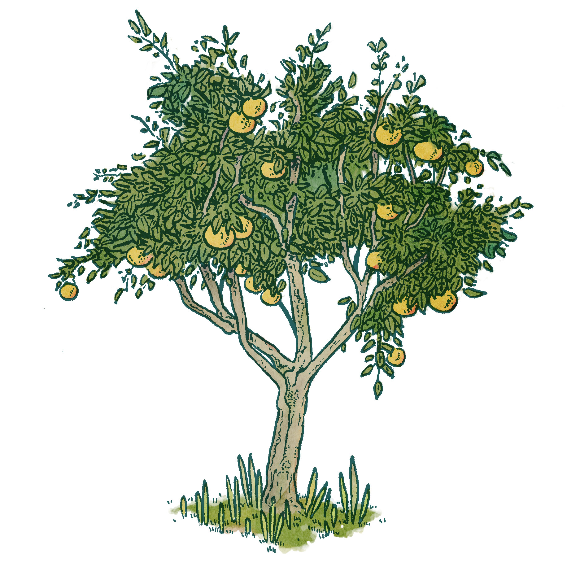 a drawing study of an orange tree